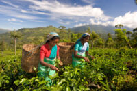 Ceylon tea pickers